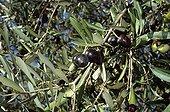 Olive 'Olivière'