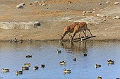 Female impalas drinking at a waterhole Etosha Namibia