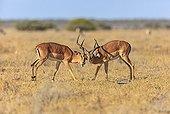 Impala males fighting in the savannah Etosha Namibia