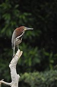Rufescent Tiger Heron on a branch Pantanal Brazil