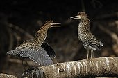 Young Rufescent Tiger Herons on a branch Pantanal Brazil