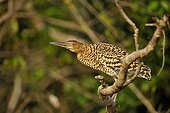 Young Rufescent Tiger Heron on a branch Pantanal Brazil