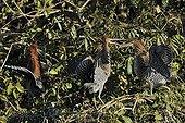 Onorés rayés juvéniles sur une branche Pantanal Brésil