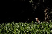 Rufescent Tiger Heron in water hyacinths Pantanal Brazil