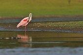 Spatule rosée dans l'eau Pantanal Brésil