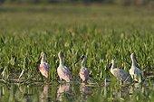 Roseate spoonbills in aquatic vegetation Pantanal Brazil