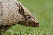 Portrait of Nine-banded armadillo Pantanal Brazil