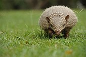 Nine-banded armadillo walking on grass Pantanal Brazil