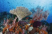 Coral reef on which hard and soft corals sponges tunicates