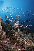 Lionfish in Indonésie