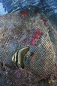 Longfin Batfish juvenile in front of fishing net Indonesia