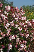 Begonia 'Braveheart F1 Berose' in bloom in a garden