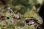 Bernard l'ermite en Méditerranée Cap d'Antibes France ; Mâle utilisant une coquille pour se rapprocher de deux femelles. Les femelles utilisent des tubes de ver ou de Vermet abandonnés. Elles ne changent que très rarement de place, seulement si la nourriture vient à manquer. Se déplacer d'un trou à l'autre est très périlleux car elles exposent alors leur corps mou aux prédateurs. Pendant l'hiver, les jeunes mâles rejoignent parfois les femelles et restent ainsi dans un tube à leur taille jusqu'au printemps. Ils reprendront alors une coquille vide pour vagabonder de pierre en pierre.