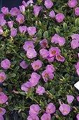 Rose moss 'Rose' in bloom in a garden