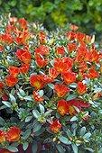 Rose moss 'Rouge' in bloom in a garden