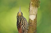 Buff-throated Woodcreeper on trunk Corcovado NP Costa Rica