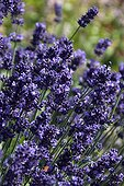 FIne lavender 'Aromatico Blue' in bloom in a garden