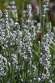 FIne lavender 'Aromatico Silver' in bloom in a garden