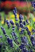 FIne lavender 'Vicenza Blue' in bloom in a garden
