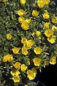 Rose moss 'Jaune' in bloom in a garden