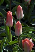 Greig tulips 'Lovely Surprise' in bloom in a garden