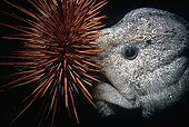 Wolf-Eel eating Red Sea Urchin Queen Charlotte Strait Canada