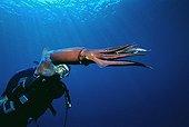 Diver observes Purpleback flying squid Israel Red Sea