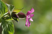 Campion ; Silene dioica, Campion, Red, Pink subject, Green background.