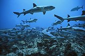 Whitetip Reef Sharks scour the reef for prey Cocos Island