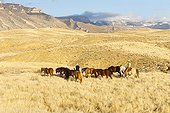 Quarter Horses and cow-boys Hideout Guest Ranch Wyoming USA