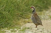 Red-legged Partridge in a dirt road