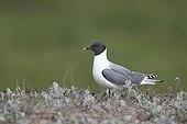 Sabine's Gull on its breeding site in Siberia