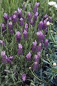 French lavender 'Candy Pink' in bloom in a garden