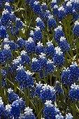 Muscaris in bloom in a garden