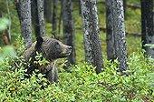 Grizzly Bear in Jasper NP in Canada