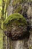 Chêne à la Vierge Forêt Domaniale de Chaux Jura France