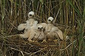 Young Marsh Harriers nesting in reeds  France