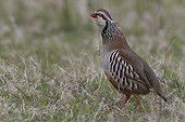 Red-legged partridge in a wasteland spring
