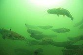 Rassemblement de Silures glanes dans le fleuve Rhône France ; Ces regroupements représentent les plus fortes biomasses de poissons d'eau douce jamais observées au monde. Les raisons de ces rassemblements sont, pour l'instant, encore inconnues. Certains individus dépassent les 2 mètres 50 et la centaine de kilos.