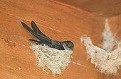 Glossy Swiftlet (Collocalia esculenta) adult, sitting on nest, nesting inside dwelling, Cebu Island, Philippines