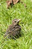 Merle noir ; European Blackbird (Turdus merula) chick, fledgling on garden lawn, England, may