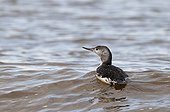 Red-throated Diver (Gavia stellata) adult, non-breeding plumage, swimming, Cley, Norfolk, England, october