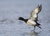 Tufted Duck (Aythya fuligula) adult male, in flight, taking off from water, Northumberland, England, winter