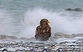 White-tailed Eagle (Haliaeetus albicilla) adult, standing on beach, Nemuro Channel, Hokkaido, Japan, winter