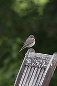 Spotted Flycatcher (Muscicapa striata) adult, perched on wooden chair in garden, Norfolk, England, june