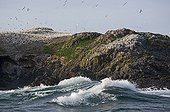Northern Gannet (Morus bassanus) breeding colony, nesting on island sea cliffs, Grassholm RSPB Reserve, Wales, july