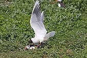 Black-headed Gull (Larus ridibundus) adult, summer plumage, attacking Atlantic Puffin (Fratercula arctica) with sandeels, Farne Islands, Northumberland, England, july