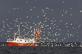 Goéland argenté ; Herring Gull (Larus argentatus) flock, following fishing trawler at sea, Varanger Fjord, Northern Norway, march