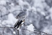 Montagu's Harrier (Circus pygargus) adult male, perched on post in snowfall, on migration through mountains, Caucasus Mountains, Georgia, april