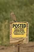 Burrowing Owl (Speotyto cunicularia) adult, perched on 'Posted, Private Property' sign, Salton Sea, California, U.S.A., april